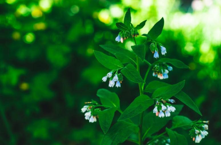 pianta di allantoina